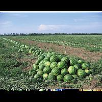 ТАЛІСМАН F1 - насіння кавуна тип Крімсон Світ 1 000 насінин, Nunhems