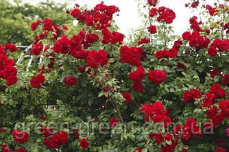 Роза плетистая Amadeus (Амадэус), саженец