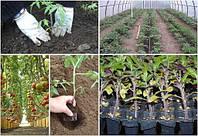 Як організувати полив помідорів в теплиці
