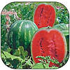 Семена арбуза средне-раннего Карнаката (Карнак) F1,United Genetics (Италия), семена 1000 семян