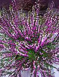 Горшечное растение Верес, фото 2