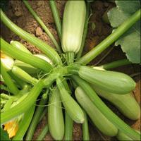 Семена кабачка Карамболь (Карамба) F1, United Genetics (Италия),