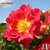 Rosa 'Bajazzo' (Бажаззо), фото 4