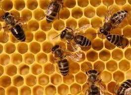 Як часто робити обробку бджіл проти варроатозу. Як продезінфікувати вулик безпечніше для бджіл.