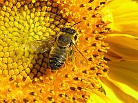 Акарапідоз та боротьба з трахейними кліщами бджіл