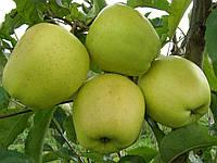 Плодовые деревья яблоня Голден Делишес Рейндерс
