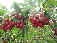 Плодовые деревья вишня Уйфехертош Фюртош