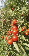 Томат помидоры Черри Восторг семена 40 шт.