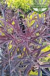 Sambucus nigra 'Black Lace', Бузина чорна 'Блек Лейс',C2 - горщик 2л, фото 3