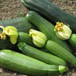 Семена кабачка среднеспелого Династия F1, United Genetics (Италия), 500 семян