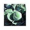 Семена капусты белокочанной поздней Галакси F1, NongWoo Bio (Корея), 2500 семян