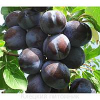 Плодовые деревья слива Карпатия