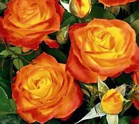 Роза Ирида