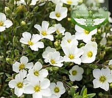 Arenaria montana 'Blizzard Compact', Піщанка гірська 'Блізард Компакт',C2 - горщик 2л