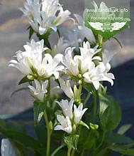 Campanula glomerata 'Genti White', Дзвоники скупчені 'Дженті Вайт',C2 - горщик 2л