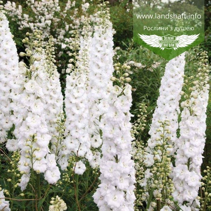 Delphinium x hybrida 'Magic Fountains Pure White', Дельфіній 'Меджік Фонтейнз П'ятому юр Вайт',C2 - горщик 2л