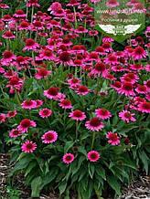 Echinacea 'Delicious Candy', Ехінацея 'Делішез Кенді',C2 - горщик 2л