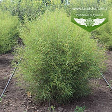 Frangula alnus 'Aspleniifolia', Крушина ламка 'Аспленіфолія',40-50см,C3.6 - горщик 3,6л