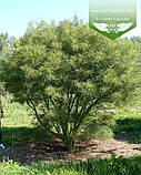 Frangula alnus 'Aspleniifolia', Крушина ламка 'Аспленіфолія',40-50см,C3.6 - горщик 3,6 л, фото 2