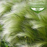 Stipa tenuissima 'Pony Tails', Ковила найтонша 'Поні Тейлз',C2 - горщик 2л, фото 2