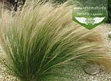 Stipa tenuissima 'Pony Tails', Ковила найтонша 'Поні Тейлз',C2 - горщик 2л, фото 5