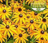 Rudbeckia fulgida 'Goldsturm', Рудбекія промениста 'Голдштурм',C2 - горщик 2л, фото 3