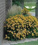 Rudbeckia fulgida 'Goldsturm', Рудбекія промениста 'Голдштурм',C2 - горщик 2л, фото 4