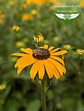 Rudbeckia fulgida 'Goldsturm', Рудбекія промениста 'Голдштурм',C2 - горщик 2л, фото 6