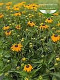 Rudbeckia fulgida 'Goldsturm', Рудбекія промениста 'Голдштурм',C2 - горщик 2л, фото 7