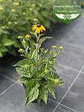 Rudbeckia fulgida 'Goldsturm', Рудбекія промениста 'Голдштурм',C2 - горщик 2л, фото 8