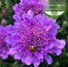 Scabiosa columbaria 'Vivid Violet', Скабіоза голубина 'Вівід Вайолет',C2 - горщик 2л