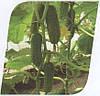 Семена огурец Магдалена F1 1000 сем. Семинис.