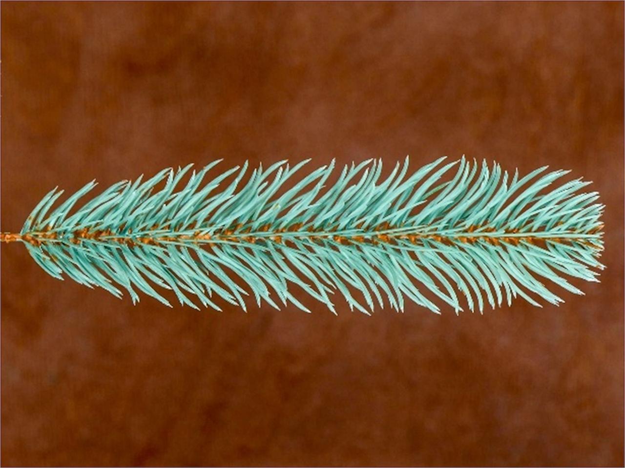 Гілка голуба №2 (1 ящик 500 шт.)