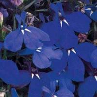 Семена Лобелия кустовая Ривьера Темно-Синяя  200 мультидраже Pan American