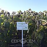 Семена подсолнечника Пегас (премиум) Евросем потенциал урожайности - 55 ц/ га, фото 6