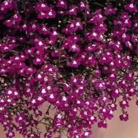 Семена Лобелия ампельная Регатта Розовая 200 мультидраже Pan American