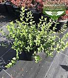 Euonymus fortunei 'Radicans', Бересклет Форчуна 'Радіканс',C5 - горщик 5л, фото 3