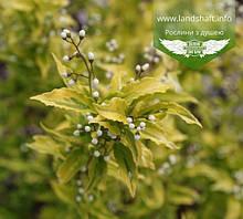 Deutzia gracilis 'Aurea', Дейція витончена 'Ауреа',C2 - горщик 2л