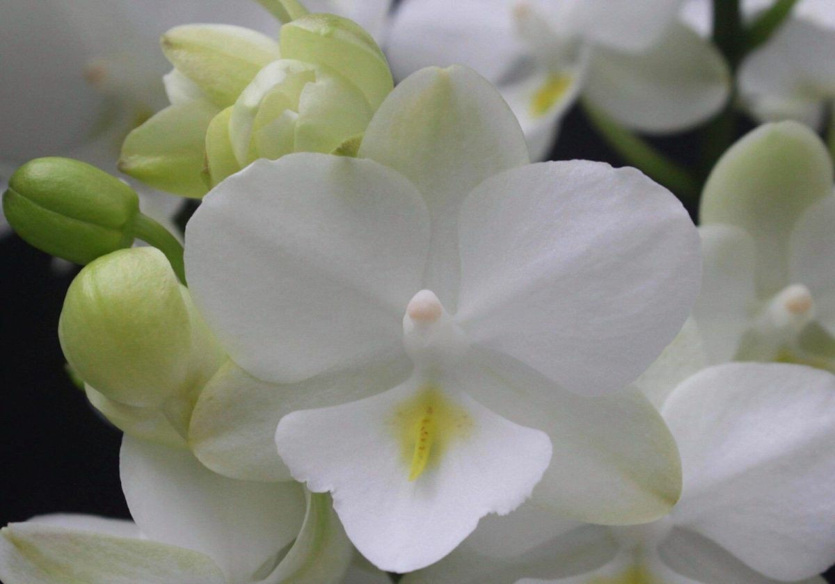 """Орхидеи. Сорт 1298 горшок 2.5"""" без цветов"""