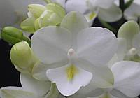 """Орхідеї. Сорт 1298 горщик 2.5"""" без квітів"""