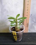 Сеянец Camellia × Feng Qiu Huang (сеянец #1), фото 2