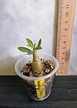 Сіянець Camellia × Feng Qiu Huang (сіянець #5), фото 2