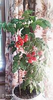 Томат помидоры Мини Черри комнатный детерминантный семена 15 шт.