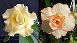 Сеянцы: Yellow Jasmine II×Pinacolada и Jaws ×RC045 (2шт в стаканчике), фото 2
