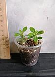 Сеянцы: Yellow Jasmine II×Pinacolada и Jaws ×RC045 (2шт в стаканчике), фото 3