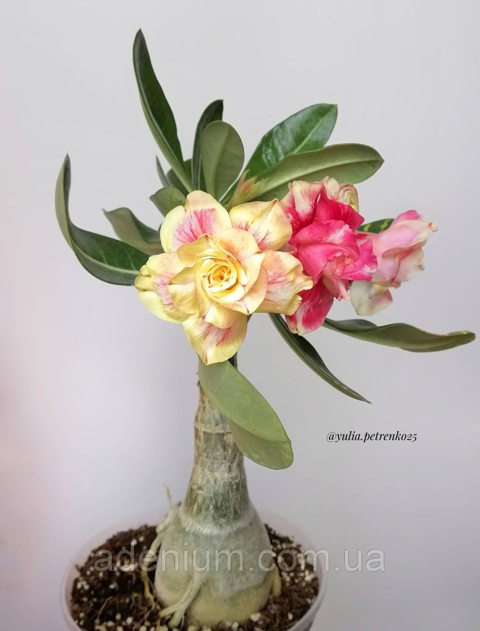 Адениум Chrysantem Terrace (молодая прививка)