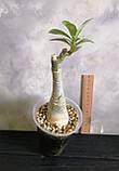 Адениум Golden Temple (взрослое растение), фото 2