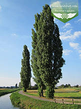Populus nigra 'Italica', Тополя чорна 'Італіка',WRB - ком/сітка,200-250см