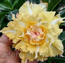 Адениум Golden Temple (взрослое растение)
