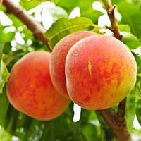 Саженцы персика БИГ ХАНИ позднего срока созревания